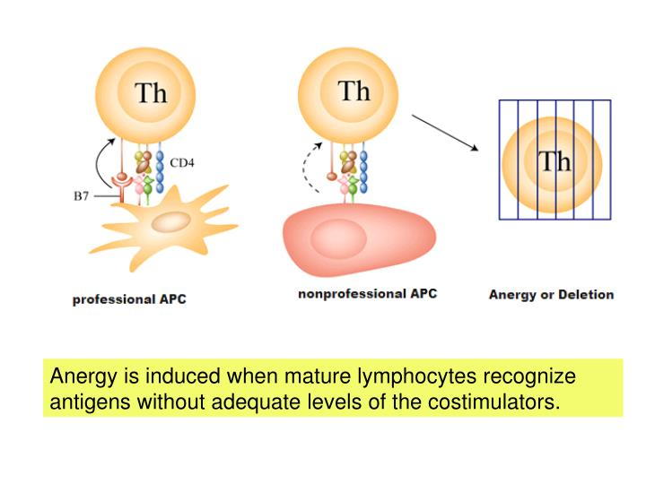 Anergy is induced when mature lymphocytes recognize antigens without adequate levels of the costimulators.