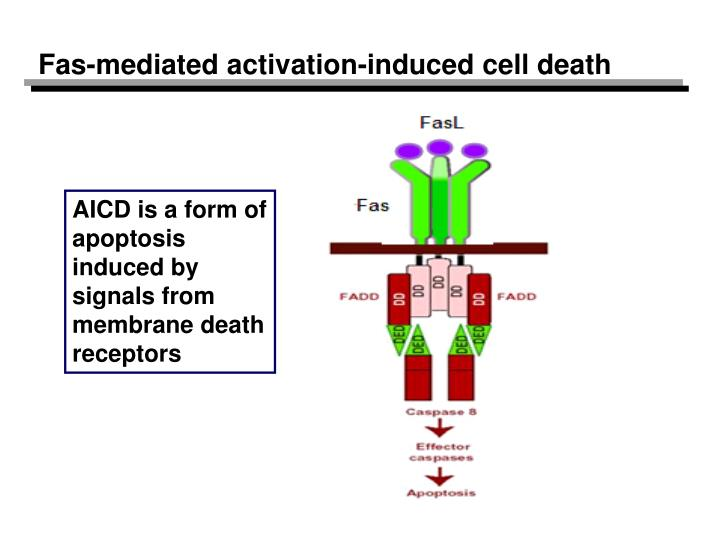 Fas-mediated activation-induced cell death