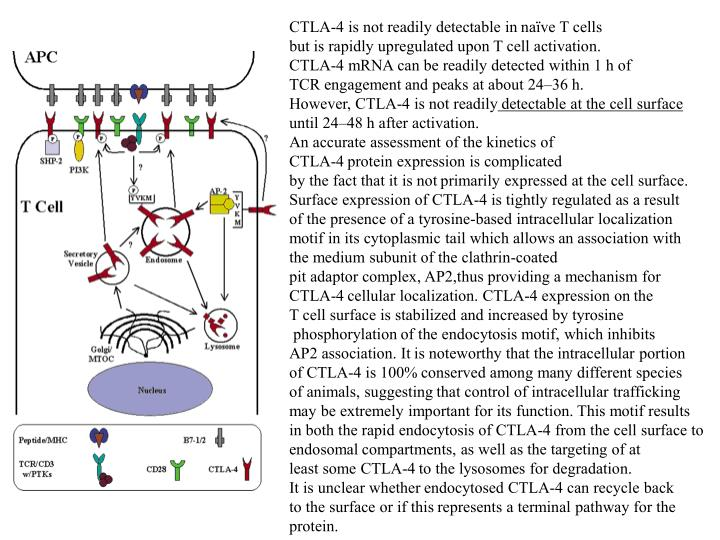 CTLA-4 is not readily detectable in