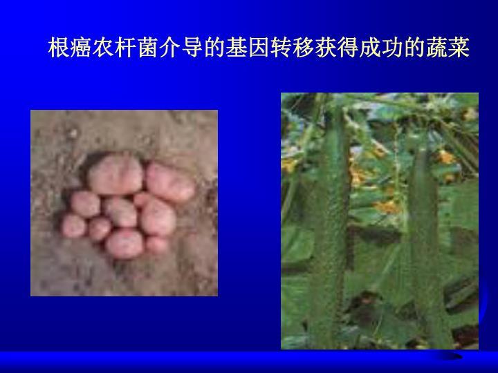 根癌农杆菌介导的基因转移获得成功的蔬菜