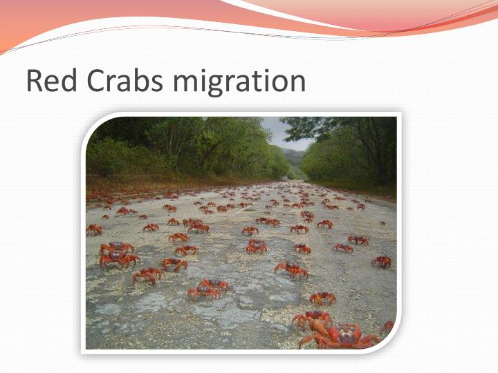 Red Crabs migration