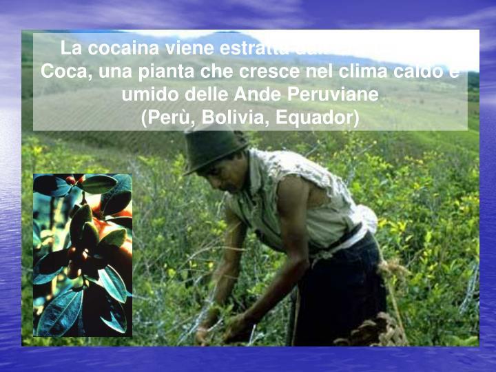 La cocaina viene estratta dall'Eritroxylum Coca, una pianta che cresce nel clima caldo e umido delle Ande Peruviane