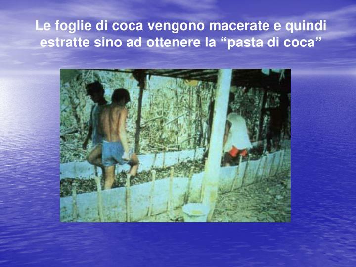 """Le foglie di coca vengono macerate e quindi estratte sino ad ottenere la """"pasta di coca"""""""