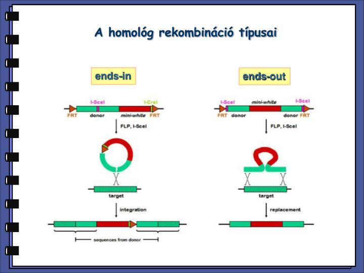 A homológ rekombináció típusai