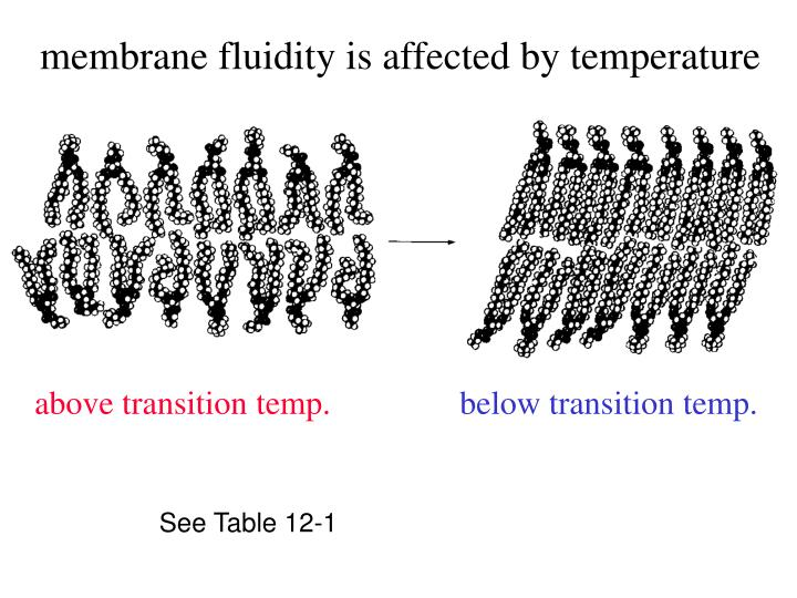 membrane fluidity is affected by temperature