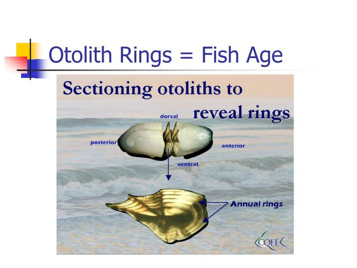 Otolith Rings = Fish Age