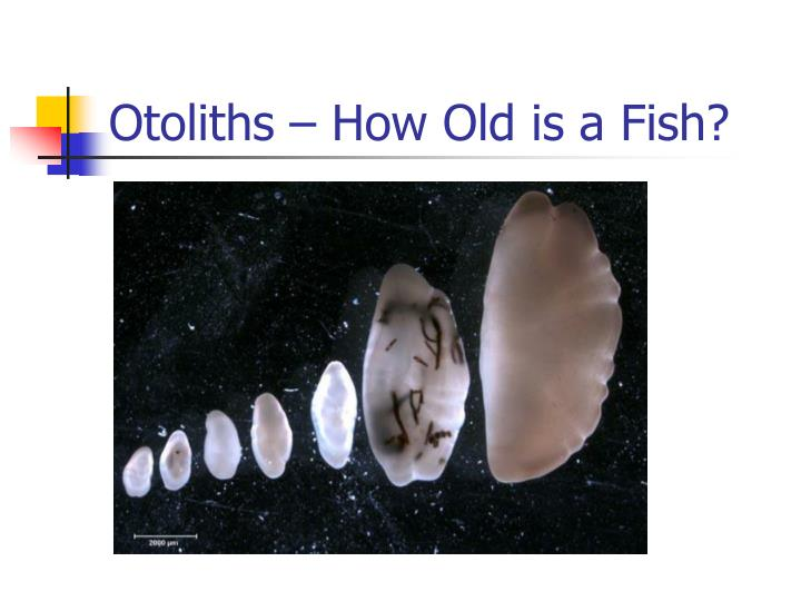 Otoliths – How Old is a Fish?