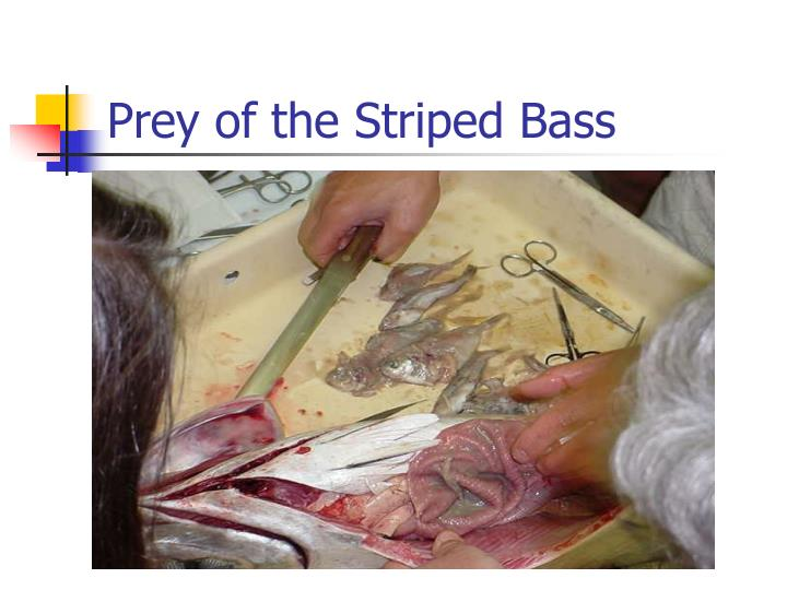 Prey of the Striped Bass
