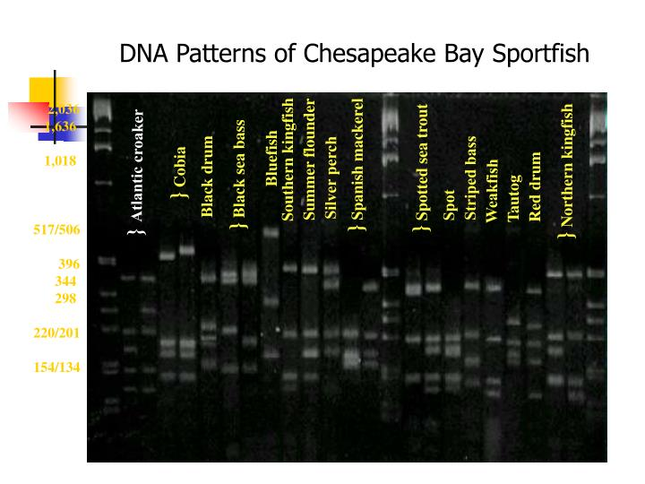 DNA Patterns of Chesapeake Bay Sportfish
