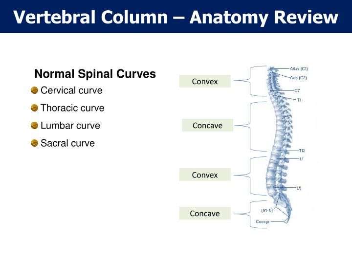 Vertebral Column – Anatomy Review