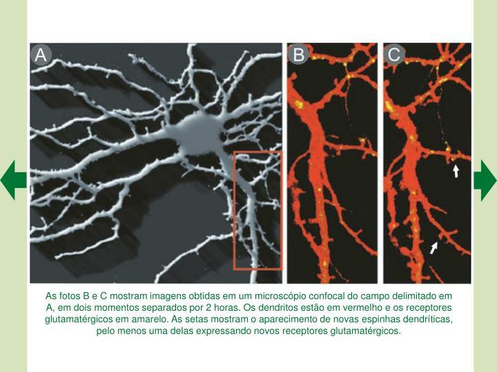 As fotos B e C mostram imagens obtidas em um microscpio confocal do campo delimitado em A, em dois momentos separados por 2 horas. Os dendritos esto em vermelho e os receptores glutamatrgicos em amarelo. As setas mostram o aparecimento de novas espinhas dendrticas, pelo menos uma delas expressando novos receptores glutamatrgicos.