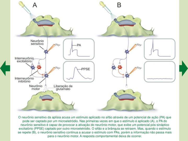 O neurnio sensitivo da aplsia acusa um estmulo aplicado no sifo atravs de um potencial de ao (PA) que pode ser captado por um microeletrdio. Nas primeiras vezes em que o estmulo  aplicado (A), o PA do neurnio sensitivo  capaz de provocar a ativao do neurnio motor, que exibe um potencial ps-sinptico excitatrio (PPSE) captado por outro microeletrdio. O sifo e a brnquia se retraem. Mas, quando o estmulo se repete (B), o neurnio sensitivo continua a acusar o estmulo com PAs, porm a informao no passa mais para o neurnio motor. A resposta comportamental deixa de ocorrer.