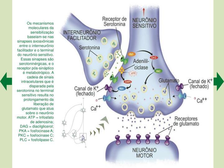 Os mecanismos moleculares da sensibilizao baseiam-se nas sinapses axoaxnicas entre o interneurnio facilitador e o terminal do neurnio sensitivo. Essas sinapses so serotoninrgicas, e o receptor ps-sinptico  metabotrpico. A cadeia de sinais intracelulares que  disparada pela serotonina no terminal sensitivo resulta no prolongamento da liberao de glutamato que atua sobre o neurnio motor. ATP = trifosfato de adenosina;