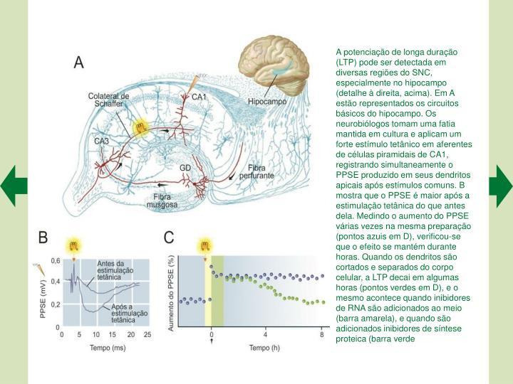 A potenciao de longa durao (LTP) pode ser detectada em diversas regies do SNC, especialmente no hipocampo (detalhe  direita, acima). Em A esto representados os circuitos bsicos do hipocampo. Os neurobilogos tomam uma fatia mantida em cultura e aplicam um forte estmulo tetnico em aferentes de clulas piramidais de CA1, registrando simultaneamente o PPSE produzido em seus dendritos apicais aps estmulos comuns. B mostra que o PPSE  maior aps a estimulao tetnica do que antes dela. Medindo o aumento do PPSE vrias vezes na mesma preparao (pontos azuis em D), verificou-se que o efeito se mantm durante horas. Quando os dendritos so cortados e separados do corpo celular, a LTP decai em algumas horas (pontos verdes em D), e o mesmo acontece quando inibidores de RNA so adicionados ao meio (barra amarela), e quando so adicionados inibidores de sntese proteica (barra verde