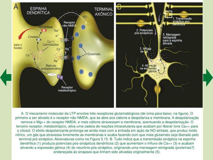 A. O mecanismo molecular da LTP envolve trs receptores glutamatrgicos (de cima para baixo, na figura). O primeiro a ser ativado  o receptor no-NMDA, que se abre aos ctions e despolariza a membrana. A despolarizao remove o Mg++ do receptor NMDA, e mais ctions atravessam a membrana, acentuando a despolarizao. O terceiro receptor, metabotrpico, ativa uma cadeia de reaes intracelulares que acabam por liberar ons Ca++ para o citosol. O efeito despolarizante prolonga-se ainda mais com a entrada em ao da NO-sintase, que produz xido ntrico, um gs que atravessa livremente as membranas e acaba fazendo com que mais glutamato seja liberado pelo terminal pr-sinptico. Abreviaturas como na Figura 5.15. B. Tudo indica que a transmisso sinptica na espinha dendrtica (1) produza potenciais ps-sinpticos dendrticos (2) que aumentam o influxo de Ca++ (3) e acabam ativando a expresso gnica (4) do neurnio ps-sinptico, originando uma mensagem retrgrada (protenas?) endereada s sinapses que tinham sido ativadas originalmente (5).
