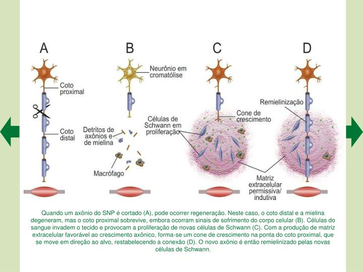 Quando um axnio do SNP  cortado (A), pode ocorrer regenerao. Neste caso, o coto distal e a mielina degeneram, mas o coto proximal sobrevive, embora ocorram sinais de sofrimento do corpo celular (B). Clulas do sangue invadem o tecido e provocam a proliferao de novas clulas de Schwann (C). Com a produo de matriz extracelular favorvel ao crescimento axnico, forma-se um cone de crescimento na ponta do coto proximal, que se move em direo ao alvo, restabelecendo a conexo (D). O novo axnio  ento remielinizado pelas novas clulas de Schwann.