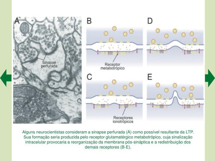 Alguns neurocientistas consideram a sinapse perfurada (A) como possvel resultante da LTP. Sua formao seria produzida pelo receptor glutamatrgico metabotrpico, cuja sinalizao intracelular provocaria a reorganizao da membrana ps-sinptica e a redistribuio dos demais receptores (B-E).