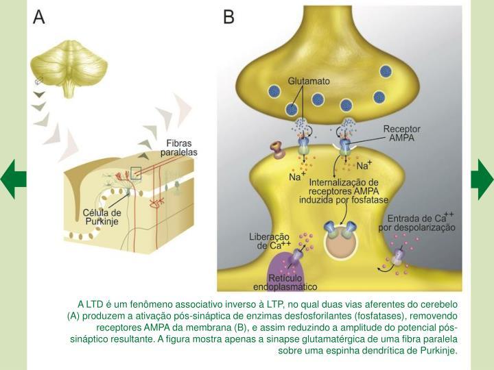 A LTD  um fenmeno associativo inverso  LTP, no qual duas vias aferentes do cerebelo (A) produzem a ativao ps-sinptica de enzimas desfosforilantes (fosfatases), removendo receptores AMPA da membrana (B), e assim reduzindo a amplitude do potencial ps-sinptico resultante. A figura mostra apenas a sinapse glutamatrgica de uma fibra paralela sobre uma espinha dendrtica de Purkinje.