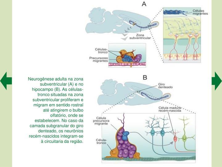 Neurognese adulta na zona subventricular (A) e no hipocampo (B). As clulas-tronco situadas na zona subventricular proliferam e migram em sentido rostral at atingirem o bulbo olfatrio, onde se estabelecem. No caso da camada subgranular do giro denteado, os neurnios recm-nascidos integram-se  circuitaria da regio.