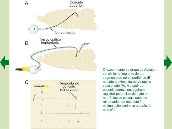 O experimento do grupo de Aguayo consistiu no implante de um segmento de nervo perifrico (B) no coto proximal do nervo ptico seccionado (A). A seguir os pesquisadores conseguiram registrar potenciais de ao em neurnios do colculo superior reinervado, em resposta  estimulao luminosa atravs do olho (C).