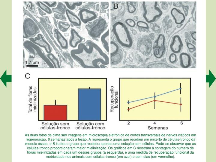 As duas fotos de cima so imagens em microscopia eletrnica de cortes transversais de nervos citicos em regenerao, 6 semanas aps a leso. A representa o grupo que recebeu um enxerto de clulas-tronco da medula ssea, e B ilustra o grupo que recebeu apenas uma soluo sem clulas. Pode-se observar que as clulas-tronco proporcionaram maior mielinizao. Os grficos em C mostram a contagem do nmero de fibras mielinizadas em cada um desses grupos ( esquerda), e uma medida de recuperao funcional da motricidade nos animais com clulas-tronco (em azul) e sem elas (em vermelho).