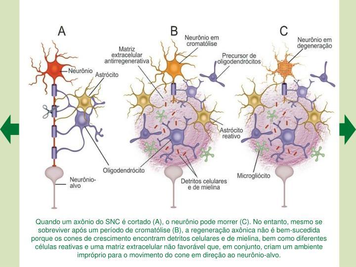 Quando um axnio do SNC  cortado (A), o neurnio pode morrer (C). No entanto, mesmo se sobreviver aps um perodo de cromatlise (B), a regenerao axnica no  bem-sucedida porque os cones de crescimento encontram detritos celulares e de mielina, bem como diferentes clulas reativas e uma matriz extracelular no favorvel que, em conjunto, criam um ambiente imprprio para o movimento do cone em direo ao neurnio-alvo.