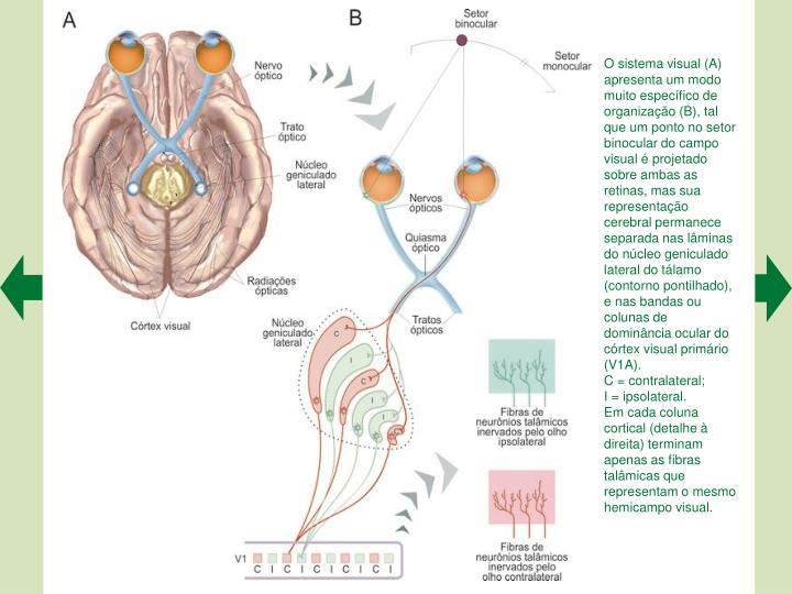 O sistema visual (A) apresenta um modo muito especfico de organizao (B), tal que um ponto no setor binocular do campo visual  projetado sobre ambas as retinas, mas sua representao cerebral permanece separada nas lminas do ncleo geniculado lateral do tlamo (contorno pontilhado), e nas bandas ou colunas de dominncia ocular do crtex visual primrio (V1A).