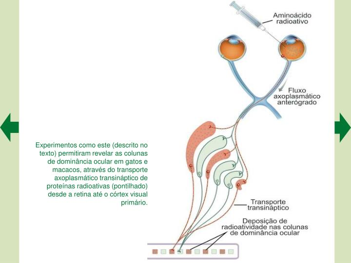 Experimentos como este (descrito no texto) permitiram revelar as colunas de dominncia ocular em gatos e macacos, atravs do transporte axoplasmtico transinptico de protenas radioativas (pontilhado) desde a retina at o crtex visual primrio.