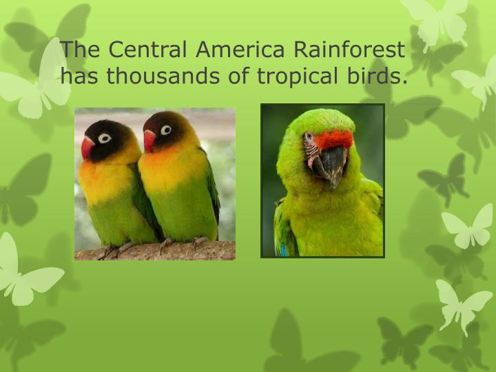 The Central America Rainforest has thousands of tropical birds.