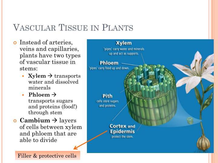 PPT - Vascular Plants (vs. Non-Vascular) PowerPoint ...