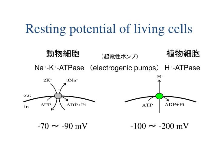 Resting potential of living cells