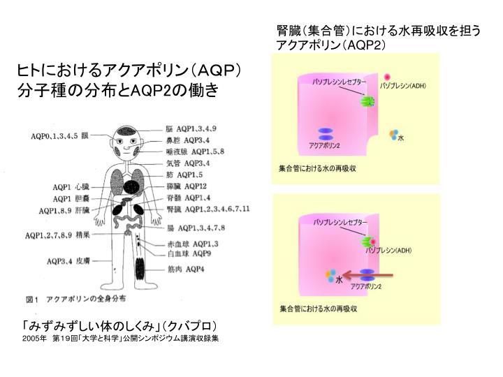 腎臓(集合管)における水再吸収を担うアクアポリン(