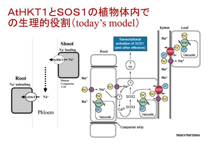 AtHKT1とSOS1の植物体内での生理的役割(