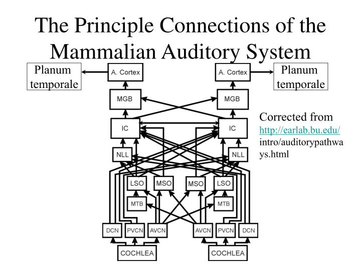The Principle Connections of the Mammalian Auditory System