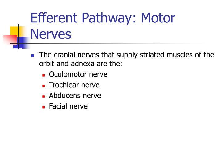 Efferent Pathway: Motor Nerves