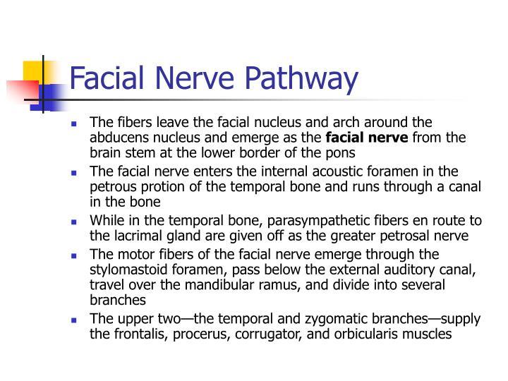 Facial Nerve Pathway