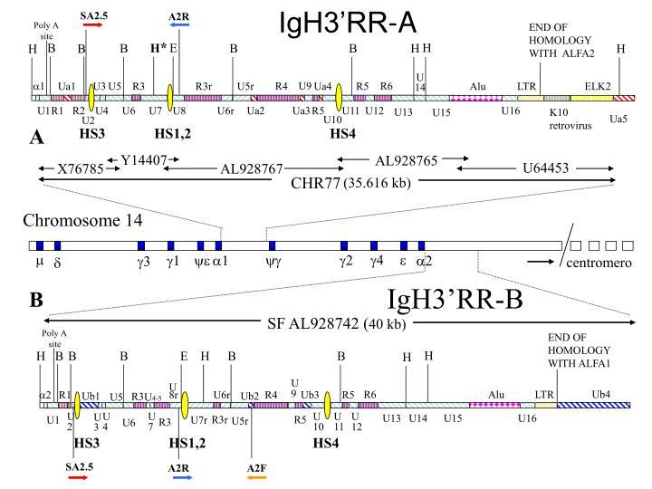 IgH3'RR-A