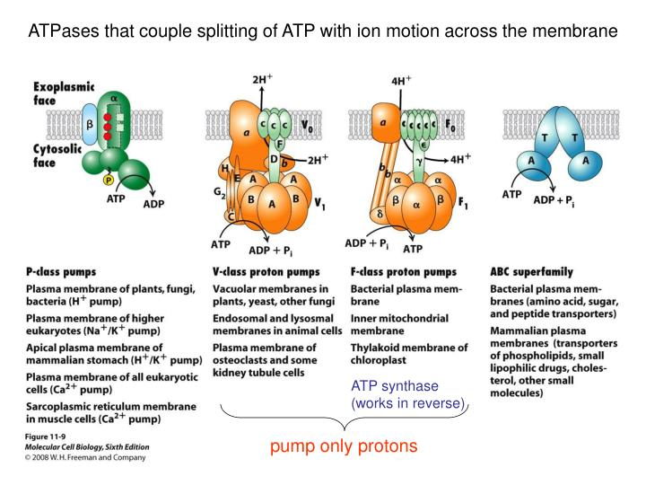 ATPases that couple splitting of ATP with ion motion across the membrane