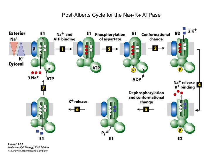 Post-Alberts Cycle for the Na+/K+ ATPase