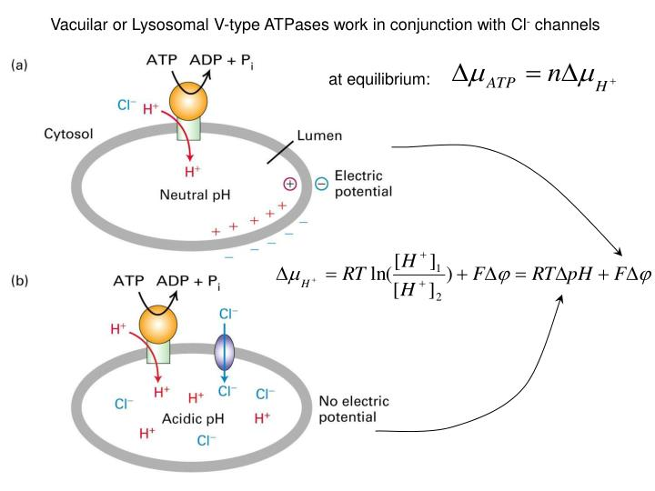 Vacuilar or Lysosomal V-type ATPases work in conjunction with Cl