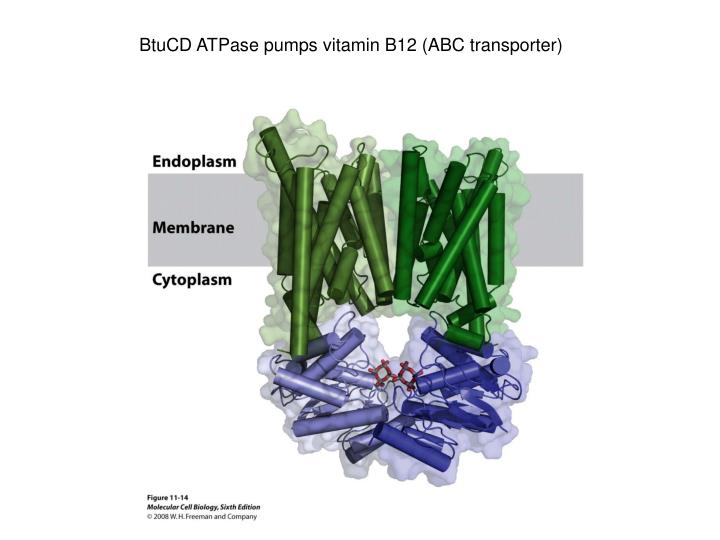 BtuCD ATPase pumps vitamin B12 (ABC transporter)