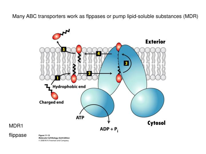 Many ABC transporters work as flppases or pump lipid-soluble substances (MDR)