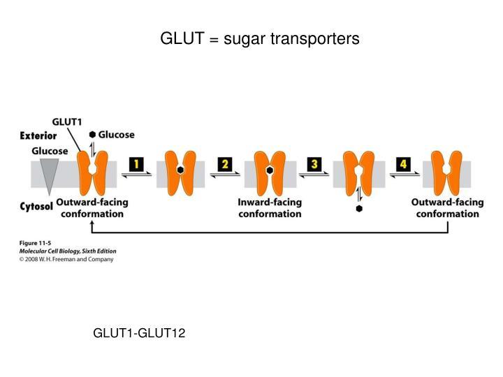 GLUT = sugar transporters