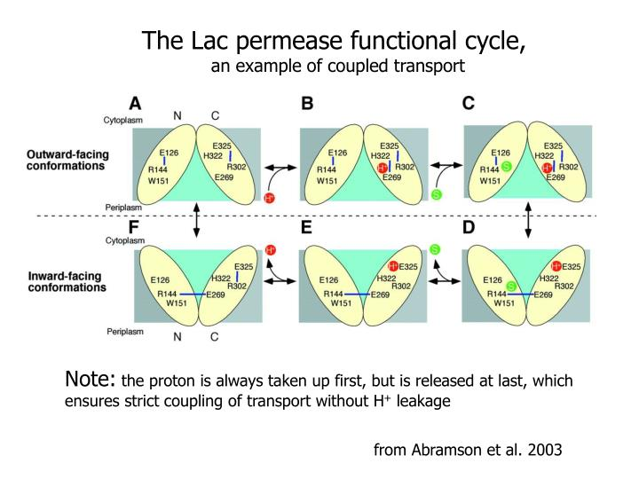 The Lac permease functional cycle,