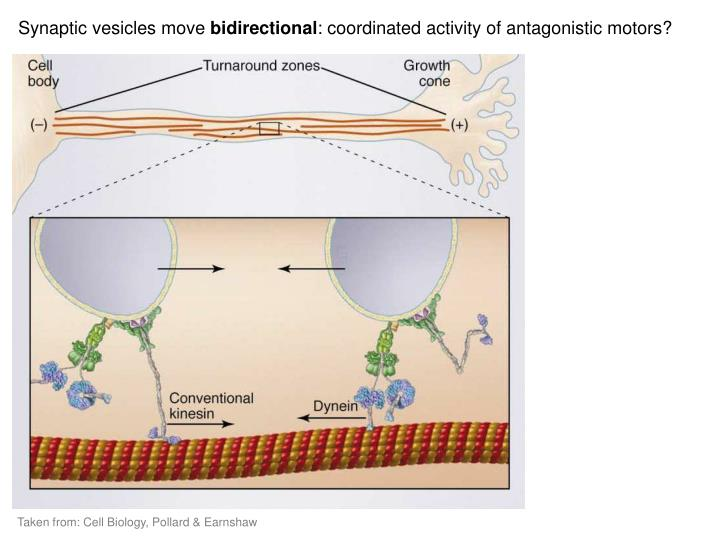 Synaptic vesicles move