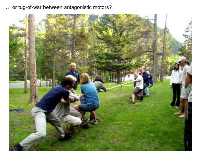 … or tug-of-war between antagonistic motors?