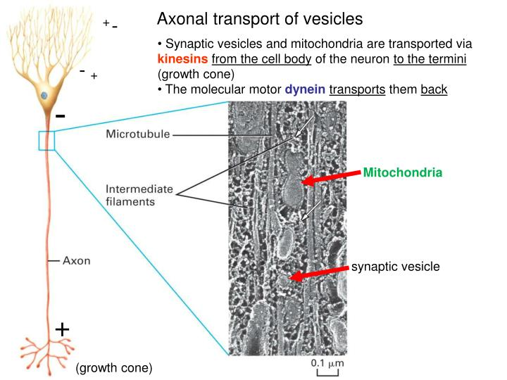 Axonal transport of vesicles