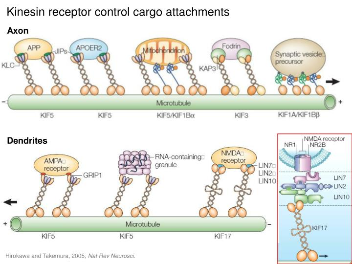 Kinesin receptor control cargo attachments