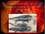 endangered species of iguanas lizard in captive breeding