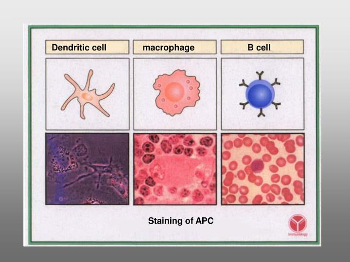 Dendritic cell